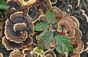FU-0030 Many-zoned polypore or turkey-tail
