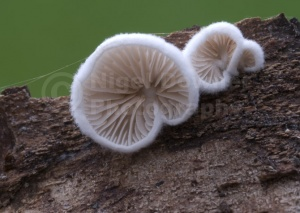 FU-0056 Variable oysterling fungus