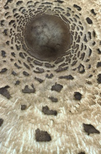 FU-0081 Parasol mushroom abstract