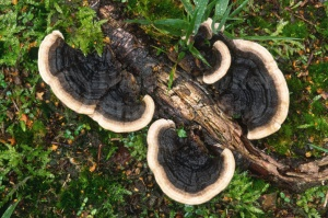 FU-0137 Many-zoned polypore or turkey-tail