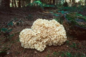 FU-0139 Cauliflower fungus