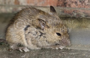 MA-0061 Young house mouse