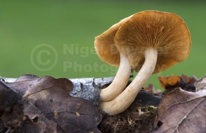 FU-0177 Common rustgill or Freckled flame-cap fungus