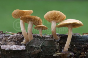 FU-0178 Common rustgill or Freckled flame-cap fungus