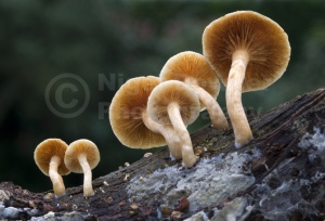 FU-0180 Common rustgill or Freckled flame-cap fungus