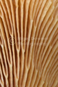 FU-0194 False chanterelle gills abstract
