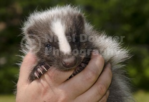 MA-0064 Domestic striped skunk