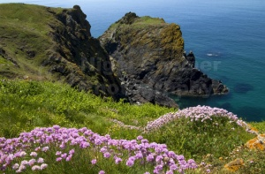 SC-0017 Thrift growing on the cliff-top, Cornish coast