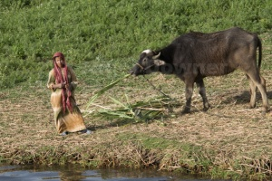TR-0024 A local Egyptian woman and water buffalo