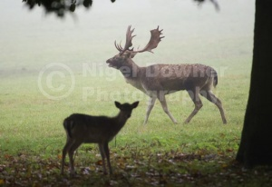 MA-0080 Fallow deer buck bellowing