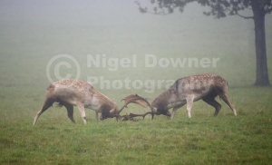 MA-0084 Fallow deer bucks clashing of horns