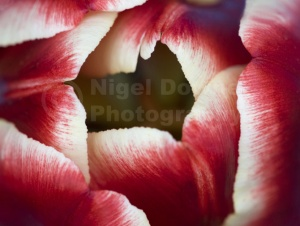AB-0011Tulip abstract