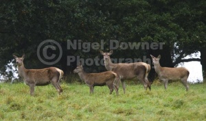 MA-0085 Red deer hinds