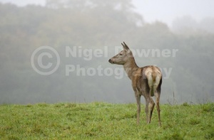 MA-0086 Red deer hind
