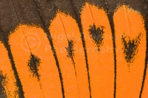 AB-0022 Giant orange-tip butterfly wing markings