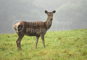 MA-0087 Red deer hind