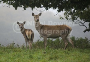 MA-0088 Red deer hind and calf
