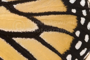 AB-0068 Monarch butterfly wing pattern