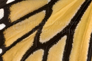 AB-0069 Monarch butterfly wing pattern
