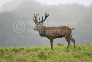 MA-0090 Red deer stag