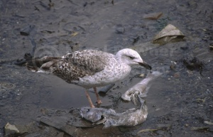 BI-0032 Herring gull