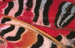 AB-0092 Red lacewing butterfly wing abstract