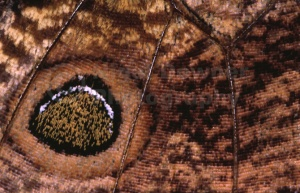 AB-0093 Owl butterfly wing abstract