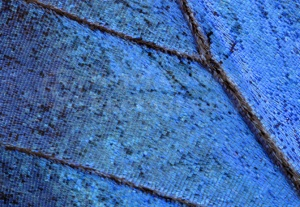 AB-0096 Blue morpho butterfly upper wing abstract