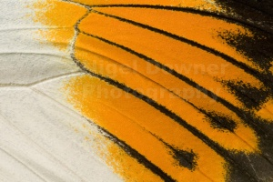 AB-0102 Giant orange-tip butterfly upper wing section