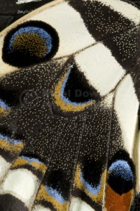 AB-0103 Japanese swallowtail butterfly underwing pattern