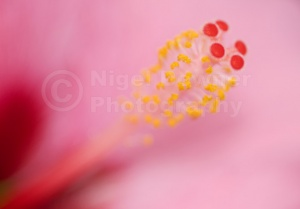 AB-0109 Pink hibiscus stamen abstract