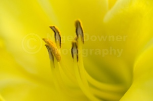 AB-0110 Yellow lily stamens abstract