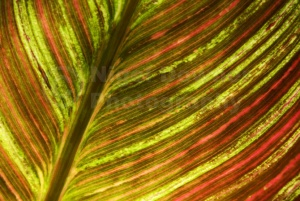 AB-0120 Indian shot plant or Canna lily leaf abstract
