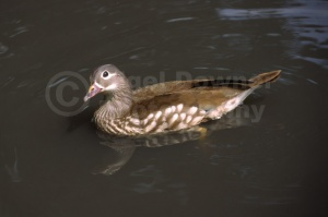 BI-0036 Carolina wood duck or North American wood duck