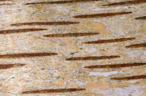 AB-0135 Silver birch bark abstract