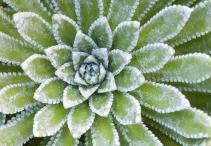 AB-0138 Saxifraga 'Esther' leaves abstract