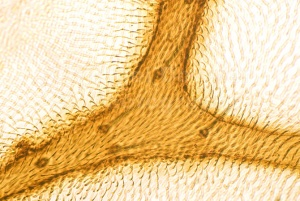 AB-0146 Cranefly, wing vein structure abstract