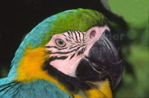 BI-0041 Blue and yellow macaw