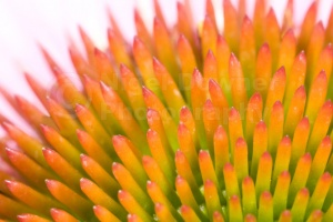 AB-0178 Coneflower creative abstract