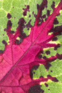 AB-0194 Coleus leaf abstract