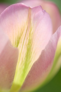AB-0195 Pink tulip abstract