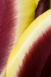 AB-0196 Red and yellow tulip abstract