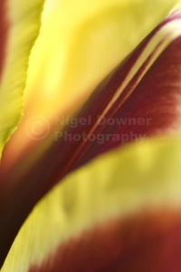 AB-0197 Red and yellow tulip abstract