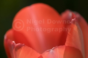AB-0198 Bright red tulip abstract