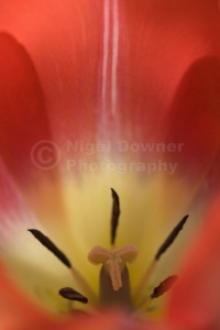 AB-0199 Bright red tulip stamens abstract