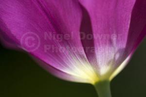 AB-0200 Deep pink tulip abstract