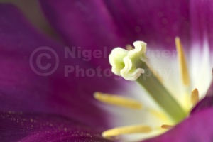 AB-0201 Deep pink tulip centre abstract