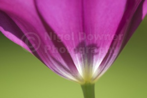 AB-0202 Deep pink tulip abstract