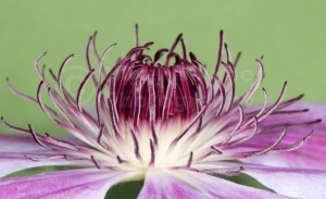 AB-0203 Clematis 'Nellie Moser' abstract
