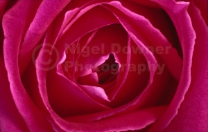 AB-0210 Deep pink rose abstract